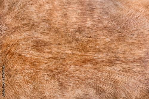 Brown dog fur texture background, breed pit bull terrier Fototapet