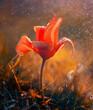 Tulipan czerwony botaniczny