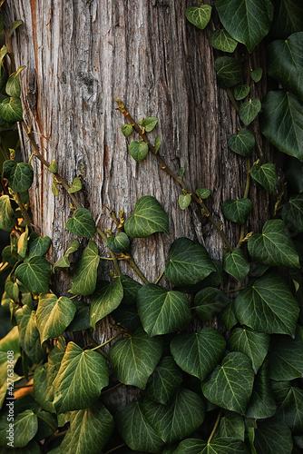 Canvas-taulu Green ivy climbing a tree trunk. natural natural texture.