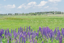 Lupine Flowers Growing Among The Wildflowers In The Meadow Outside The Village On A Bright Summer Day. Blue Sky With Many White Cumulus Clouds. Horizontal Photo. Scenery.