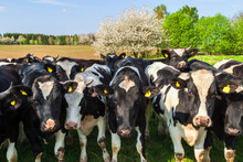 Cows Standing And Looking Into The Camera In A Rural Landscape