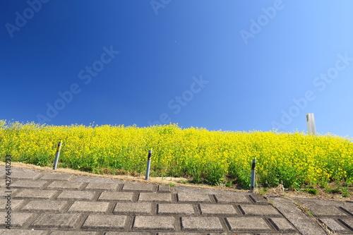 Photo 菜の花咲く江戸川護岸と青空