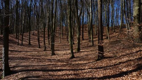 las bukowy jesienią - fototapety na wymiar