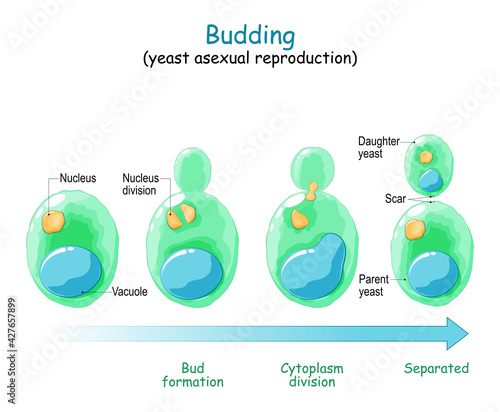 Fototapeta Budding. asexual reproduction of yeast cell obraz