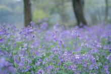 Purple Flowers Backgrounds, Orychophragmus Violaceus