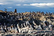 Colony Of Sea Lions And Cormorants On The Islands Of The Beagle Channel, Ushuaia.