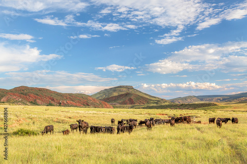 Canvas Open range cattle grazing at foothills of Rocky Mountains in northern Colorado,