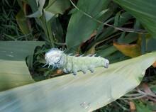 Photo Of A Sticky Caterpillar On A Leaf