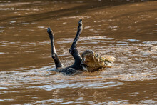 Crocodile Eating Dead Wildebeest