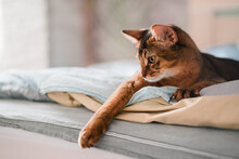 Beautiful Red Somali Breed Cat Laying On The Bad In The Bedroom At Home