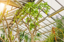 Pachypodium Succulents In Greenhouse Tropical Arid Zones.