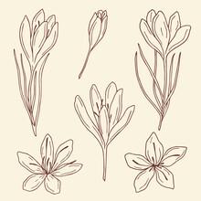 Hand Drawn Saffron Illustration. Botanical Design