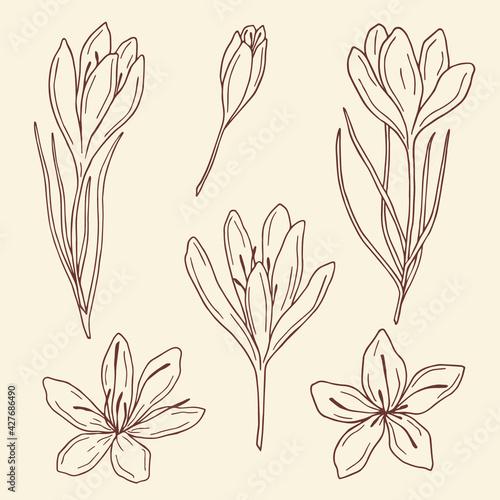 Fototapeta Hand drawn saffron illustration. Botanical design obraz