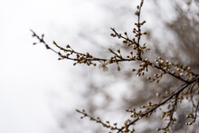 Springtime, Tiny White Flowers On Tree Branches Against A Distant Blurred Background. Water Drops On The Buds On A Rainy Day