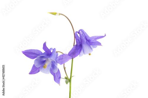 Fotografering aquilegia flower isolated