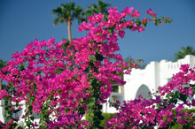 Decorative Flowers In The Park Sharm El-Sheikh. Egypt