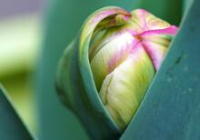 ,Tulpe, Papagei Tulpe, Macro, Tulip, Nahaufnahme, Blume, Frühling,