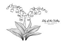 Lily Of The Valley Flower And Leaf Hand Drawn Botanical Illustration With Line Art.