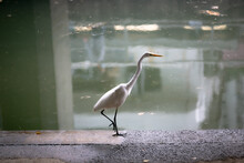 Egret Chilling In The Concrete Jungle In Hong Kong Along The Canal Bank