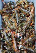 Fresh Caught Lobster Off The Boat In Cape Breton, Nova Scotia