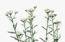 Blooming Achillea Millefolium ( Common Names: Yarrow Or Common Yarrow ) On Light Background. Top View, Flat Lay