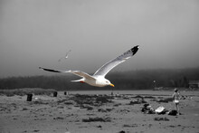 Seagull In Flight Selectively Colored Against Black And White Background