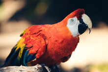 Close-up Of Parrot, Amazon Rainforest Macaw