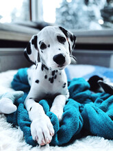 Portrait Of Dalmatian Puppy Resting On Bed At Home