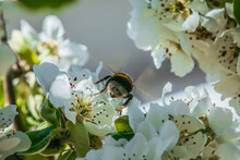 Branch With Many Apple Blossoms In Spring. Bumblebee Insect Back On A Blossom Of The Fruit Tree In Sunshine. White Flowers When Open With Reddish Pistils, Green Flower Stems And Green Leaves