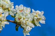 Branch With Many Apple Blossoms In Spring Against Blue Sky. Blossom From The Fruit Tree In The Sunshine. Apple Tree With At Open White Blossom With Reddish Pistils, Green Flower Stems And Green Leaves