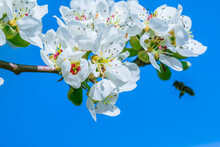 Branch From Apple Tree At Flowering Time. White Blossoms From The Apple Tree In Spring Sunshine. Open Flower With Petals, Flower Stalks, Reddish Pistils And Green Leaves