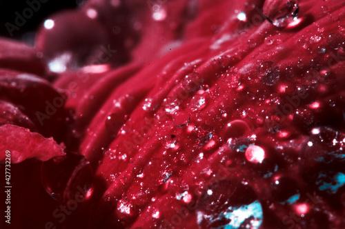 kwiaty w deszczu krople wody makro wiosna