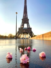 Scenic View Of The Eiffel Tower With Cherry Blossom Flowers Lying On Wet Asphalt
