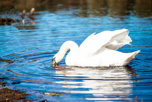 Selective Focus Shot Of A Graceful Mute Swan Drinking Water