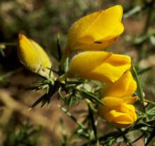 Beautiful Shot Of Yellow Common Gorse (Ulex Europaeus) Flowers