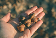 Close-up Of Person Holding Acorns In Hand