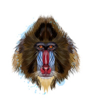 Monkey Mandrill Head Portrait From A Splash Of Watercolor, Colored Drawing, Realistic. Vector Illustration Of Paints