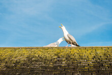 Two Seagull Birds Perched On A Moss Covered Roof Top - Aggressively Squawking With Big Blue Sky