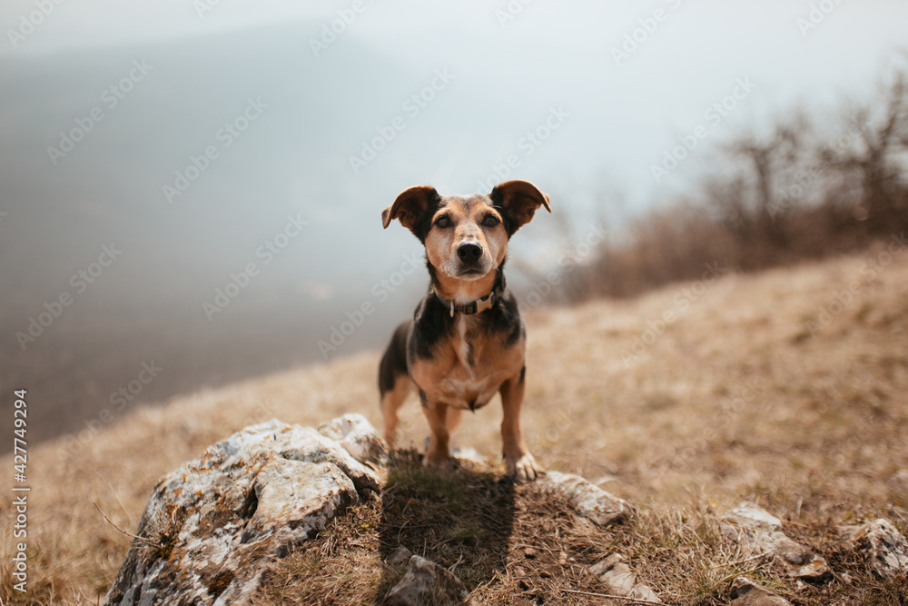 Fototapeta adorable dachshund terrier crossbreed dog with short legs standing on a rock on a mountain in early spring looking at the camera