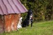 poważny czarny domowy pies pozuje.