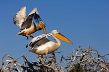 Parc National Du Djoudj,senegal Pélican Blanc (pelecanus Onocrotalus)