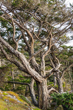 A Tree With Many Curvy Limbs That Are Covered With Rough Bark And Wind-swept Branches To The Left.
