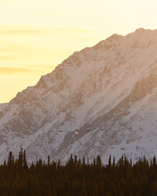 A Northern Canadian Nature Scene With 5 Trumpeter Swans Flying Across In Front Of Huge Mountain Peak Behind. Taken In April, Spring Time From Tagish, Yukon Where Birds Rest While Migrating.