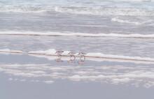 Sanderlings Wading In The Surf At Dawn At Daytona Beach Florida.