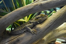 Bearded Dragon Pauses On A Stick