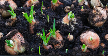 Green Onion Feathers From Planted Bulbs