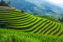 Rice Fields On Terraced In Rainny Season At Mu Cang Chai, Yen Bai, Northwest Vietnam