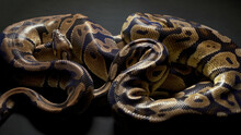 Footage Of Ball Python In Dark Background