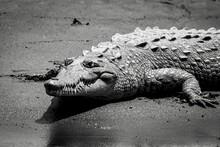 American Crocodile, Spitzkrokodil In Costa Rica