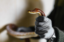 The Brown Snake Is Held In Gloved Hands.